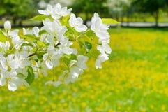 Apple kwitnie nad dandelion pole Obraz Royalty Free