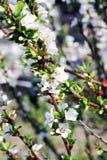 Apple kwitnie w wiośnie na niebie Fotografia Stock