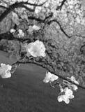 Apple kwitnie w wiośnie przy zmierzchem czarny white Obrazy Royalty Free