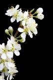 apple kwitnienie gałęzi drzewa Zdjęcia Stock