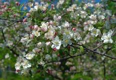 apple kwitnienie gałęzi drzewa Obraz Royalty Free