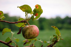 Apple in the late summer royalty free stock photos