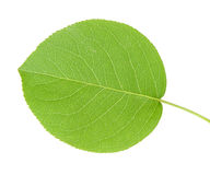 Apple Leaf Royalty Free Stock Photography