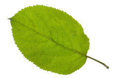 Apple leaf Stock Image