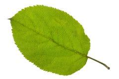 Apple leaf fotografering för bildbyråer