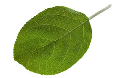 Apple leaf closeup Royalty Free Stock Photography