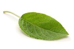 Apple leaf closeup Stock Photos