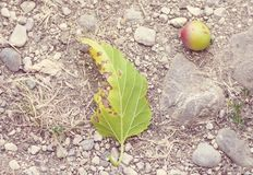 Apple and leaf fallen over a summer ground Royalty Free Stock Photo
