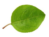 Apple leaf isolated Stock Photography