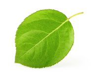 Apple leaf isolated Royalty Free Stock Image