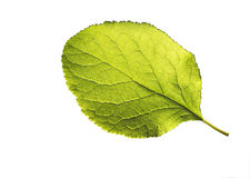 Apple leaf isolated on white background Stock Photos