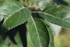 Apple leafs Stock Photos