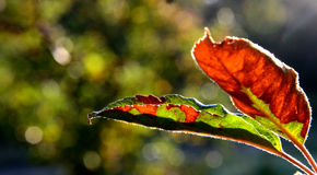 apple leaves in autumn leaves, macro Stock Images