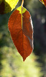 apple leaves in autumn leaves, macro Stock Photography