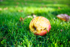 Apple lying on the grass in the dew on a farm in the province of Royalty Free Stock Photo