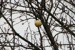 Apple maduro en el árbol Imagen de archivo libre de regalías