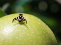 Apple Maggot Fly - Rhagoletis pomonella Stock Photo