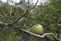 Apple of Malang, East Java. Apple fruit typical of the city of East Java`s poor rock. Organic Apples without pesticides stock photo