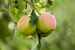 Apple (Malus domestica) Obrazy Royalty Free
