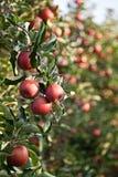 Apple (Malus domestica) Fotografia Stock
