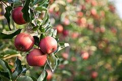 Apple (Malus domestica) Zdjęcia Stock