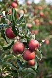 Apple (Malus domestica) Obrazy Stock