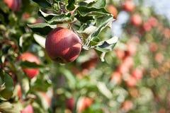 Apple (Malus domestica) Obraz Royalty Free