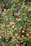 Apple (Malus domestica) Zdjęcia Royalty Free