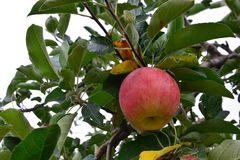 Apple Malus Domestica, On The Tree Royalty Free Stock Image
