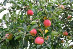 Apple Malus Domestica, On The Tree Royalty Free Stock Photography