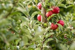 Apple (Malus domestica). Red tasty ripe apple (Malus domestica Stock Images