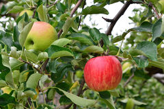 Apple Malus domestica. On the tree, in japan stock photography