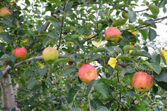 Apple Malus domestica, on the tree Royalty Free Stock Photos