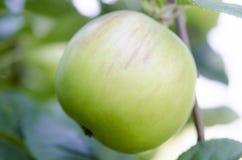 Apple med sidor som växer på trädet Arkivbild