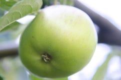 Apple med sidor som växer på trädet Arkivbilder