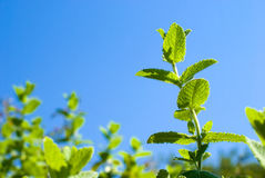 Apple mint Royalty Free Stock Photos