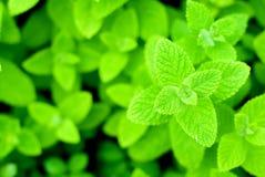 Apple mint. Fresh green Apple mint leaves royalty free stock image