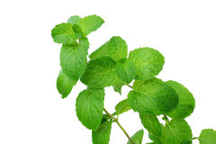 Apple Mint (Mentha suaveolens) Royalty Free Stock Photos