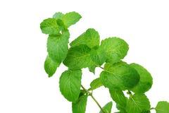 Apple Mint (Mentha suaveolens) royalty free stock photos