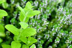 Apple mint and Thyme Stock Photography