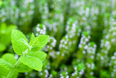 Apple mint and Thyme Royalty Free Stock Photos
