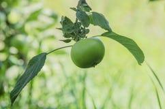 Apple mit den Blättern, die auf dem Baum wachsen Lizenzfreie Stockfotos