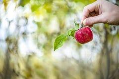 Apple mit einer Niederlassung und Blätter in der Hand des Mannes im Herbst arbeiten im Garten Lizenzfreies Stockbild
