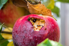 Apple mit Insekten Lizenzfreies Stockfoto