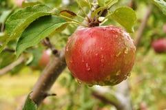 Apple mit Regentropfen Lizenzfreies Stockbild