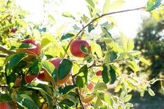 Apple moissonnent Images libres de droits