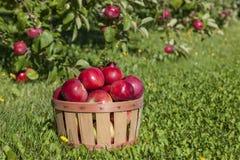 Apple moissonnent Photos stock