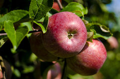 Apple moissonnent Photo stock