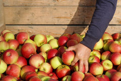 Apple moissonnent Photographie stock
