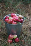 Apple moissonnent Image stock